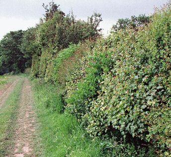 british-hedge.jpg