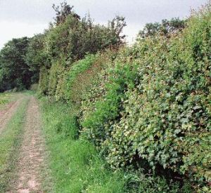 British Hedgerow